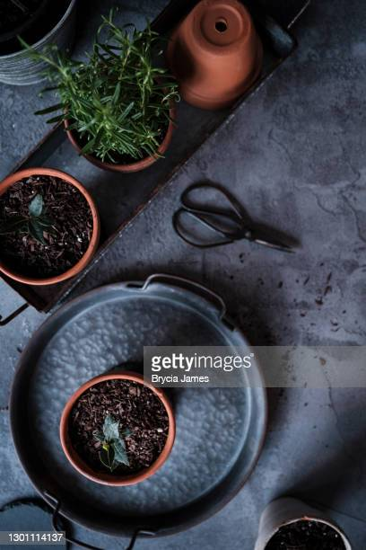 bay seedlings and rosemary in terracotta pots - brycia james stock pictures, royalty-free photos & images