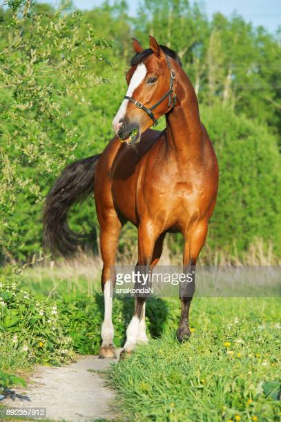 bay  sportive  horse posing in field. summer - bay horse stock photos and pictures