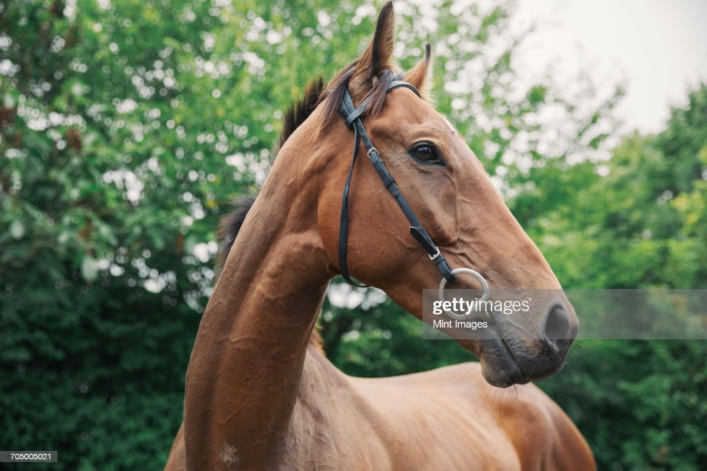 A bay thoroughbred racehorse in a paddock. Head turned. : Stock Photo