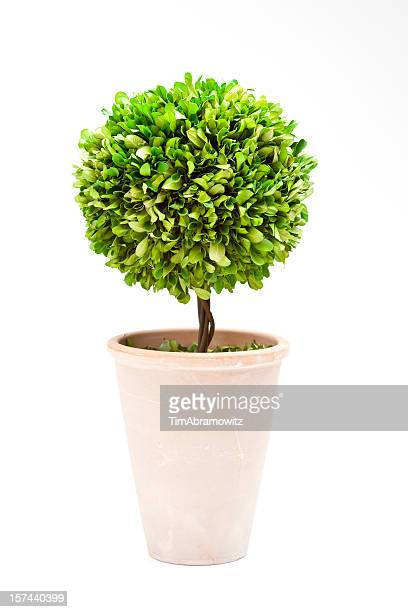 bay tree topiary - pot plant stock pictures, royalty-free photos & images
