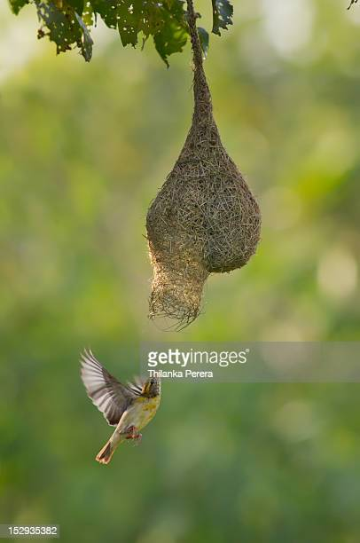 Baya weaver bird entering nest