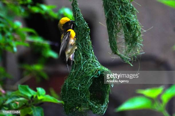 Baya Weaver builds its nest during monsoon season in the outskirt of Ajmer village in Rajasthan, India on July 30, 2021.
