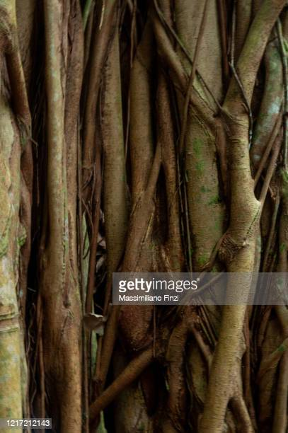 bayan tree aerial roots - fig tree stock pictures, royalty-free photos & images