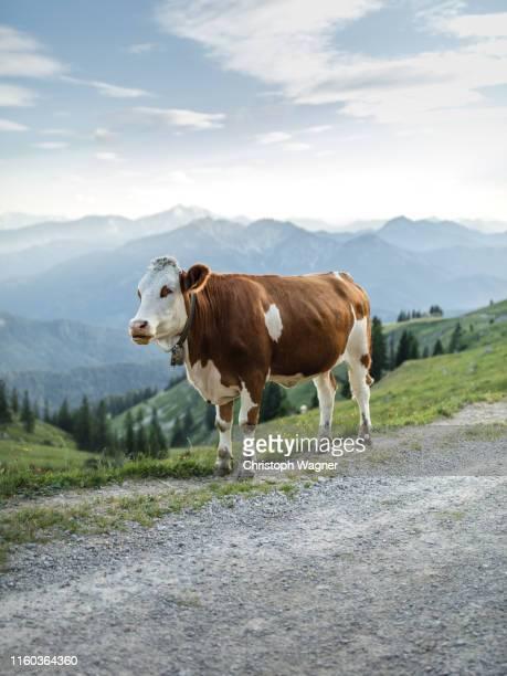 bayerische alpen - spitzingsee - 牝牛 ストックフォトと画像