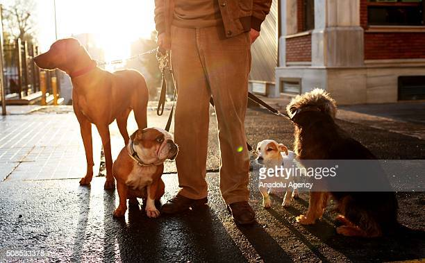 Bayram Kozat who used to shepherd sheep in Turkey's Malatya for the past 20 years practices his job as a new dog walker in Istanbul Turkey on...
