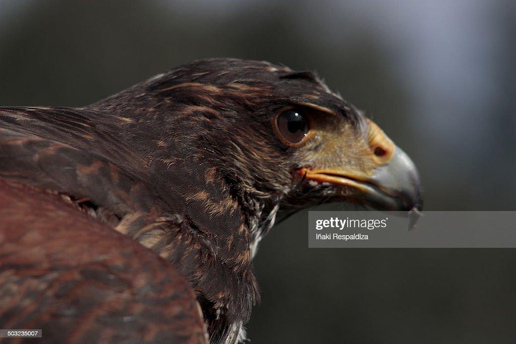 bay-winged hawk : Foto de stock