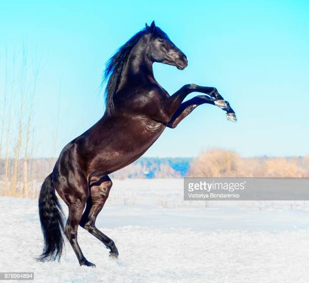 bazalt - stallion stock pictures, royalty-free photos & images