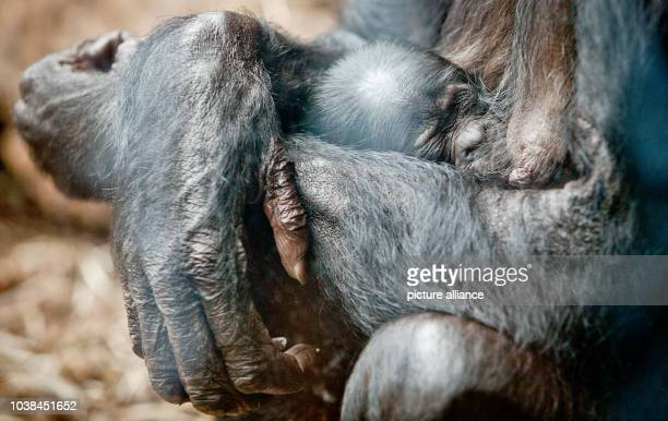 Bbonobo mother 'Kutu' holds on to her baby born on 18 July 2015 in their enclosure of the zoo in Frankfurt am MainGermany 21 July 2015 The baby...