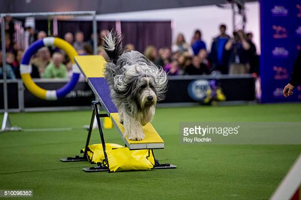 Buster the Bearded Collie competes in the agility ring during 7th Annual AKC Meet The Breeds at Pier 92 on February 13 2016 in New York City