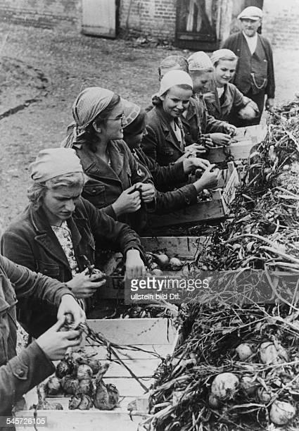 BDMMädchen helfen bei derZwiebelernte September 1939