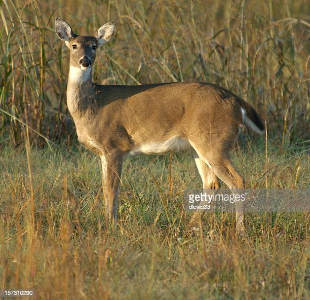 be a deer, will you - white tail deer stock photos and pictures