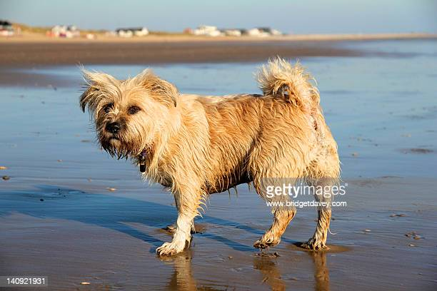 beach dog - camber sands stock photos and pictures