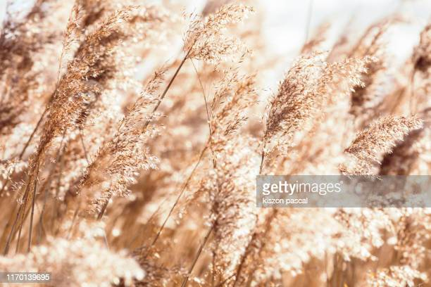 beach dry grass, reeds, stalks blowing in the wind at golden sunset light - reed grass family stock pictures, royalty-free photos & images