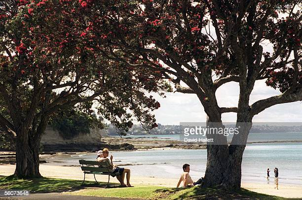 Beach goers enjoy summer and the Pohutukawa tree in flower at Narrow Neck Beach Auckland