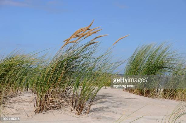 Beach grass (Ammophila), Amrum, North Sea, Schleswig-Holstein, Germany