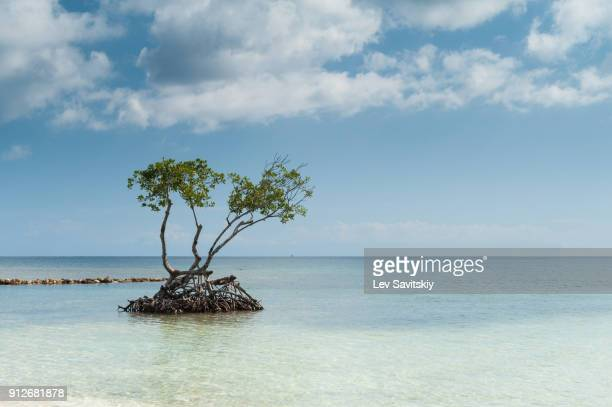 beach in honduras - mangrove tree stock pictures, royalty-free photos & images