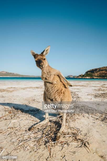 beach Kangaroo scratch