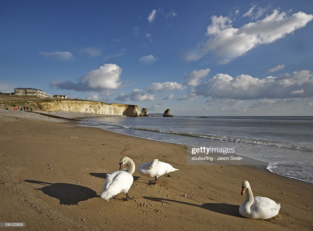 Beach life. 3 Swans at Freshwater Bay : Foto de stock