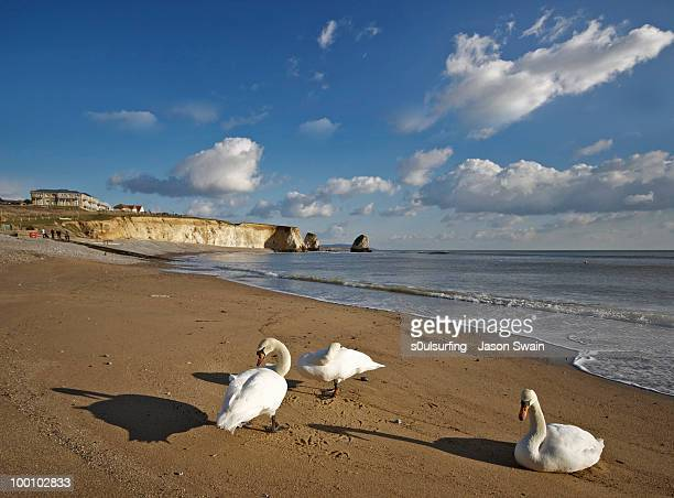 beach life. 3 swans at freshwater bay - s0ulsurfing photos et images de collection