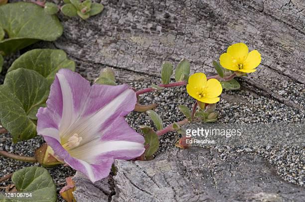 Beach Morning Glory, Calystegia soldanella, and Beach Primrose, Camissonia cheiranthifolia, Redwood National Park, California, USA. Both have prostrate (or trailing stems).