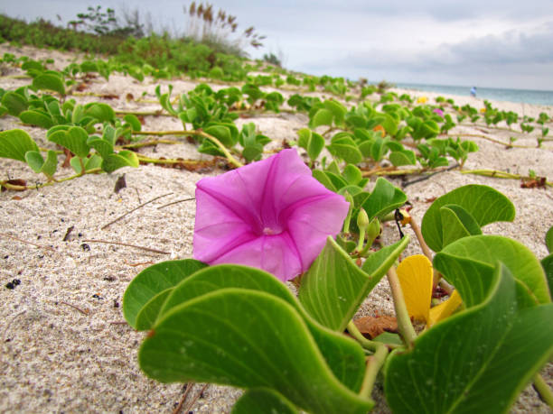 Beach Morning Glory (Ipomoea pes-caprae) growing on sandy beach in Fort Pierce, Florida