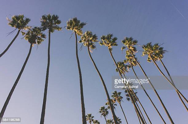 Beach Palm Trees in Los Angeles