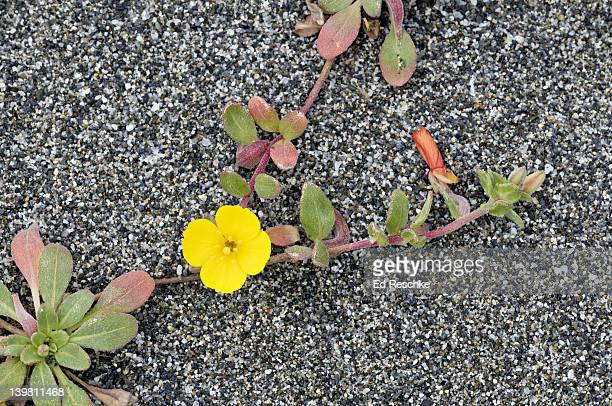 Beach Primrose, Camissonia cheiranthifolia, Redwood National Park, California, USA. A day bloomer with prostrate stems. The yellow petals may turn red in age.