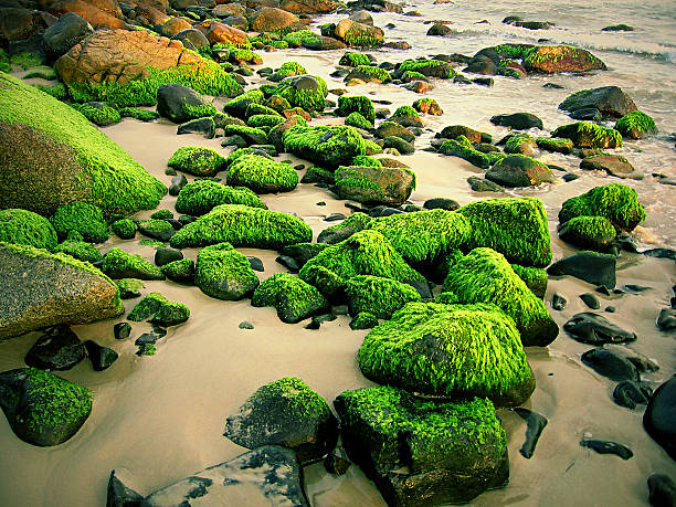 Beach rocks covered with seaweed