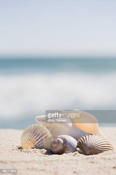 beach shells - hackett stock photos and pictures