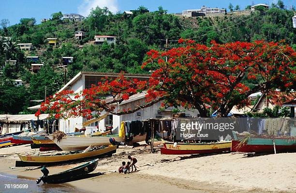 beach with flamboyant tree ( fabaceae delonix regia) on anse la raye. - raye stock pictures, royalty-free photos & images