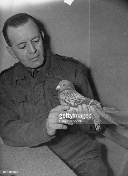 'Beachcomber' a carrier pigeon of British Army Pigeon Service in retirement in southeast England 7th January 1943 Beachcomber was used to bring the...