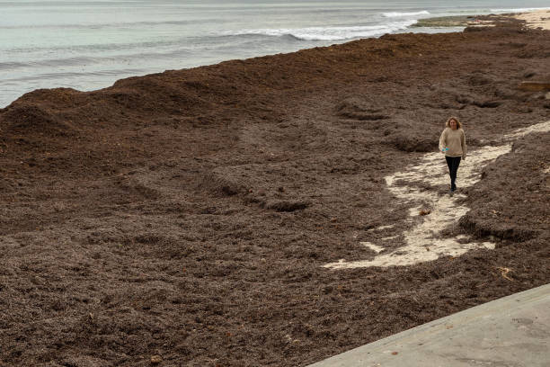 AUS: Cottesloe Beach Covered In Seaweed Following Storms Across Western Australia