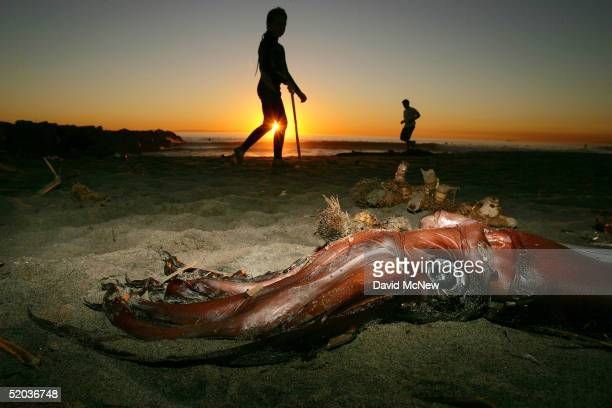 Beachgoers pass a giant squid that washed ashore on January 19 2005 in Newport Beach California Scientists are trying to figure out why hundreds of...
