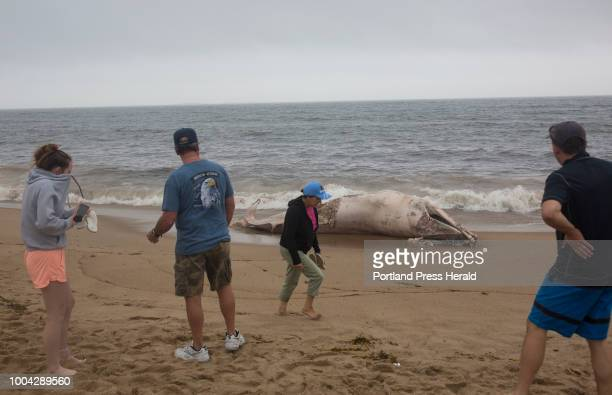 Beachgoers stop to look at the decomposed carcass of a minke whale that washed up on the shore of Old Orchard Beach over the weekend