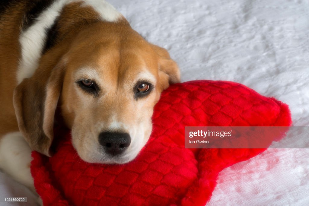 Beagle and Heart-Shaped Pillow : Stock Photo