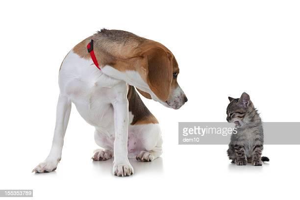Beagle e Filhote de Gato