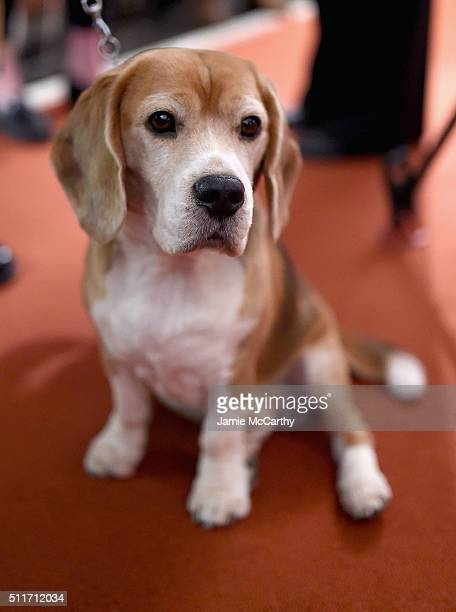 A Beagle attends the American Kennel Club Presents The Nation's Most Popular Breeds Of 2015 at AKC Headquarters on February 22 2016 in New York City