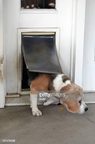 Chien Beagle de passage à rabat