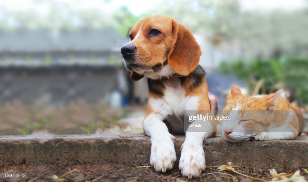 Beagle dog and brown cat lying together on the footpath. : Stock Photo