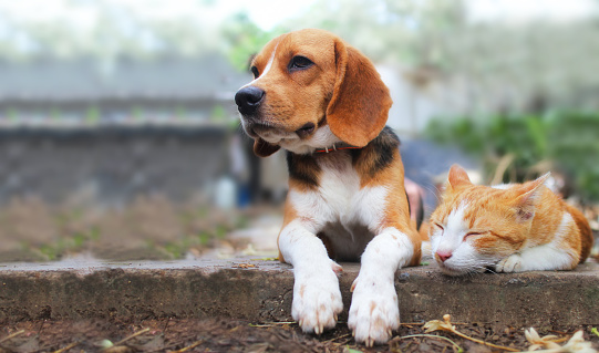 Beagle dog and brown cat lying together on the footpath. 1008149440