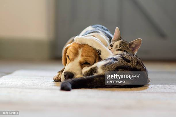 beagle dog and moggie cat having a cuddle - dog and cat stock photos and pictures