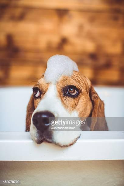 Beagle dog having a bath