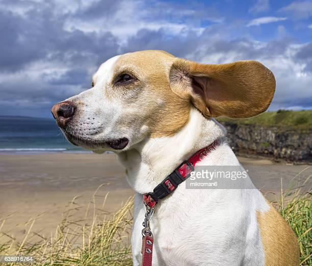 Beagle dog in beach (Ballybunion, Co. Kerry, Ireland)
