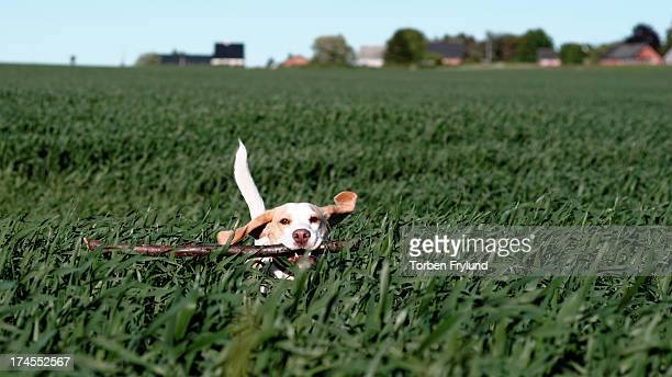 Beagle dog in field with stick