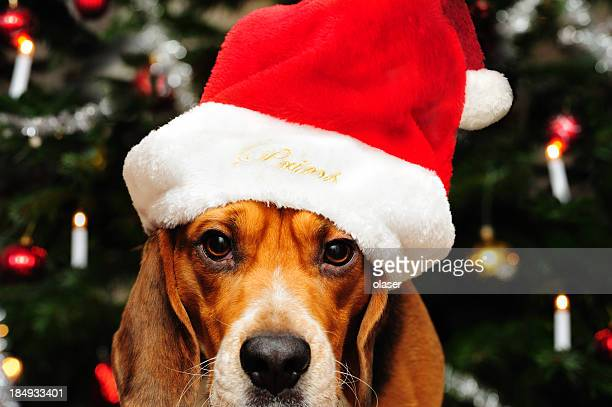 Beagle dog in front of christmas tree