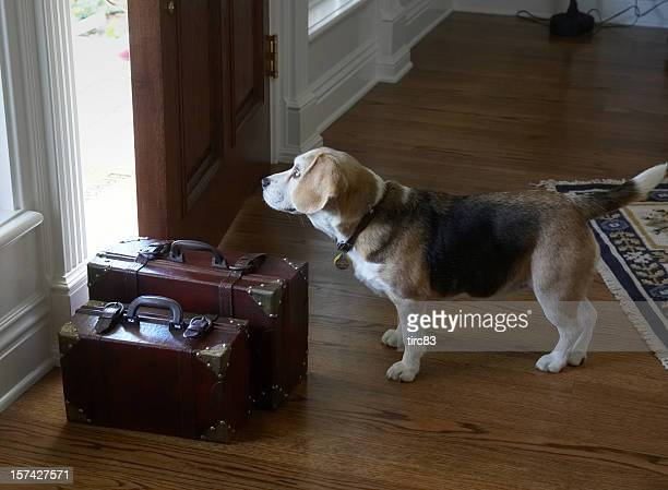 Beagle dog leaving home