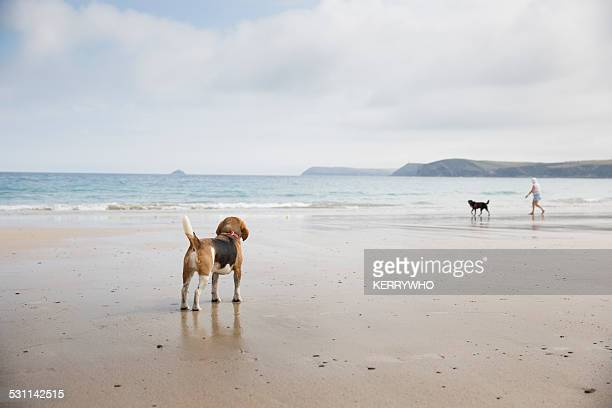 Beagle dog looking out to sea