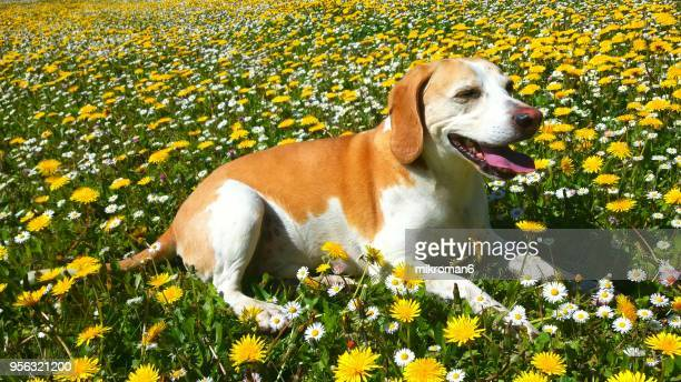 Beagle dog lying on the grass in the garden on Springtime, Summer day