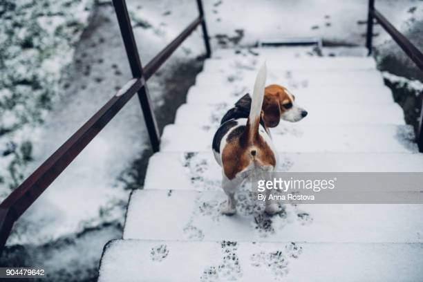 Beagle dog on stairs looking at fresh snow