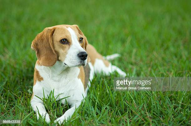 Beagle dog on the lawn